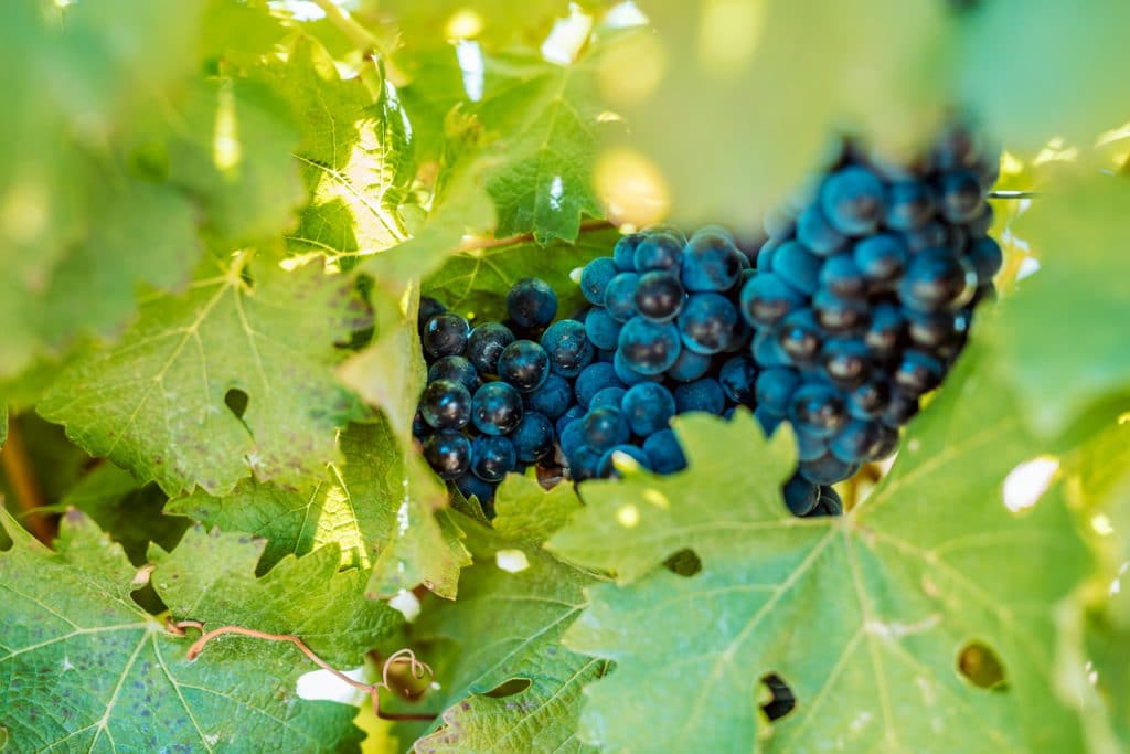 Durbanville grapes