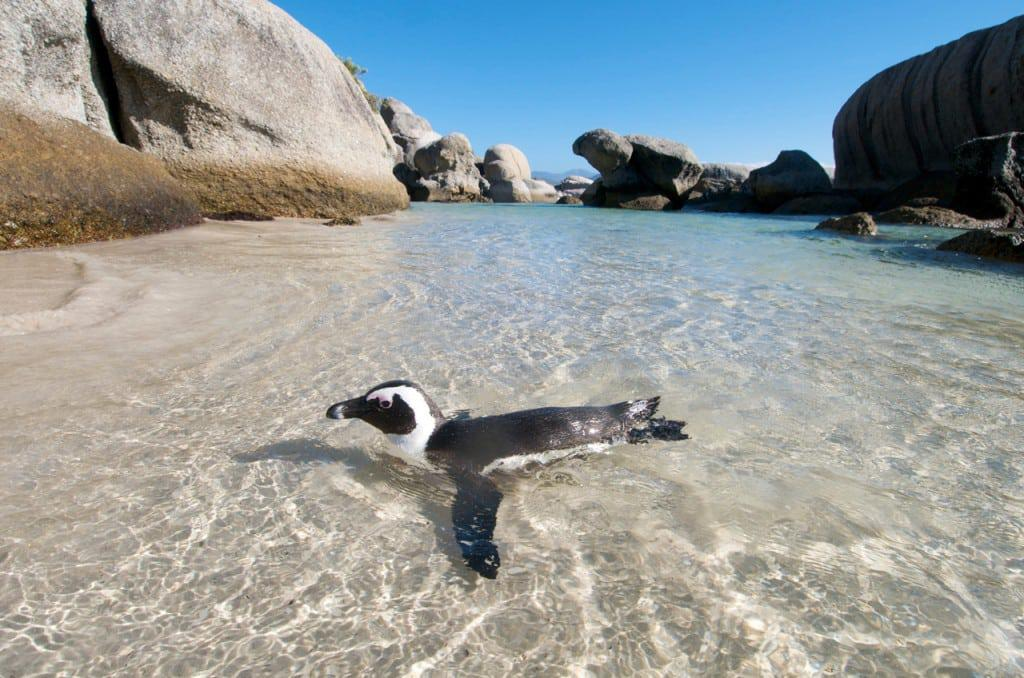 Penguin Swimming At Boulders Beach Cape Town