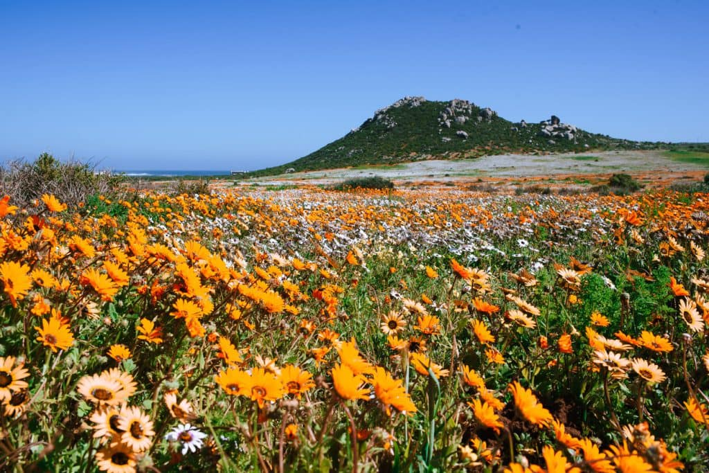 Wild Flowers at West Coast National Park
