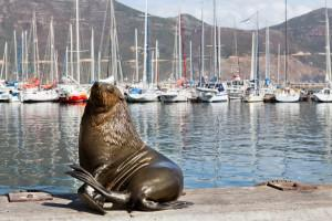 Seal at Hout Bay Harbour