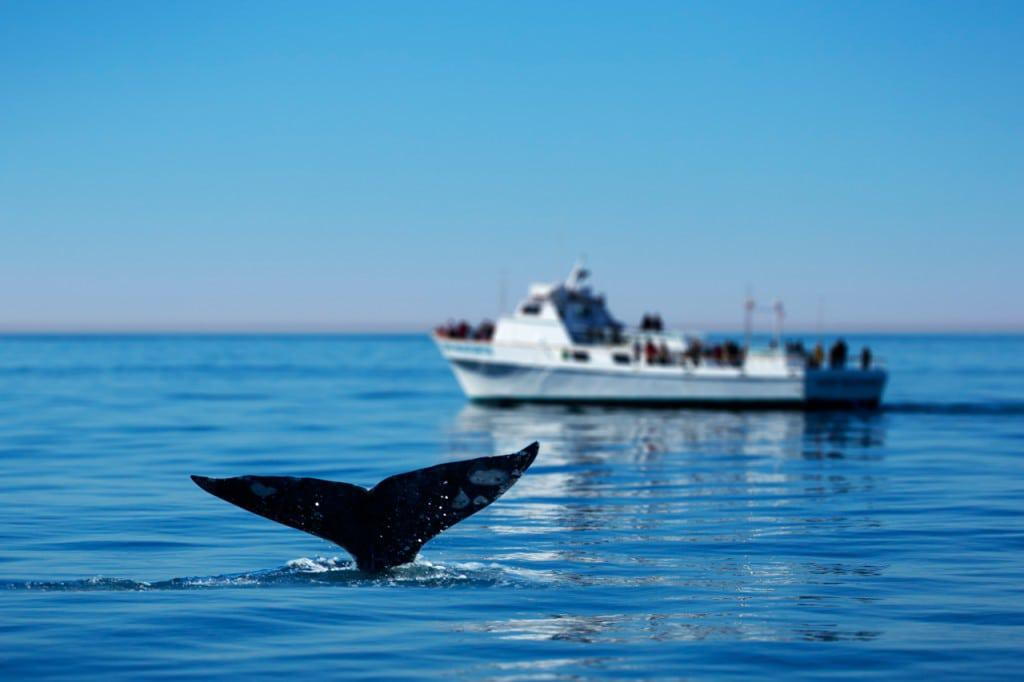 whale_watching_in_cape_town (2)