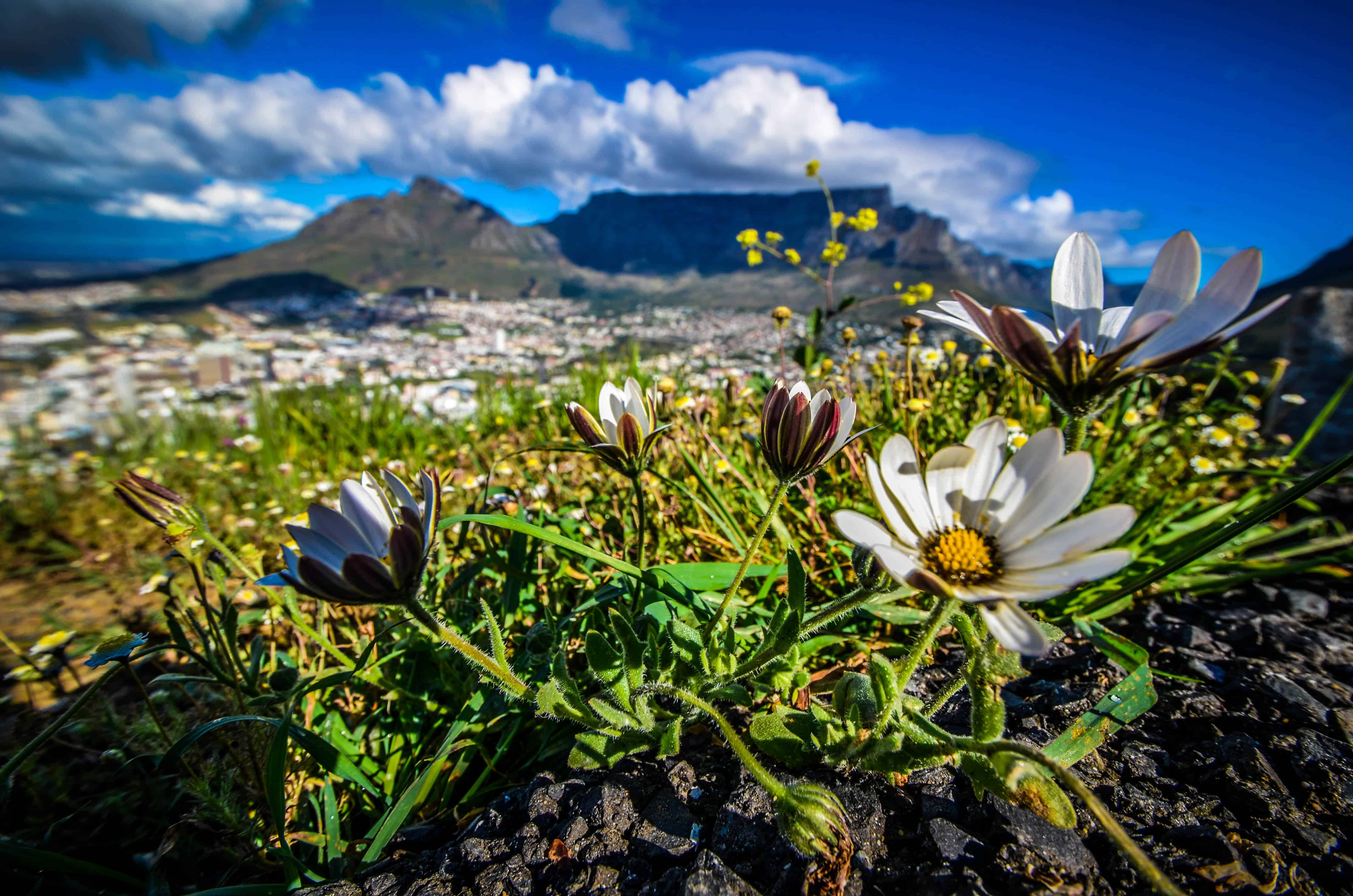 Flowers with Table Mountain in the background