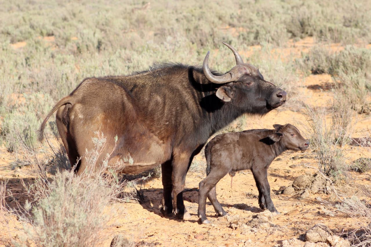 Newborn Buffalo at Aquila