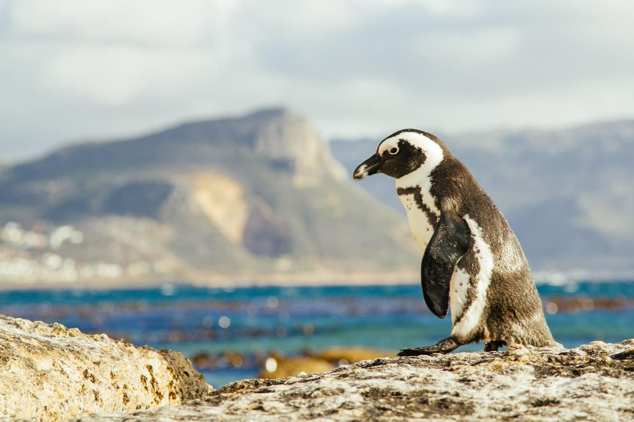 Penguin-on-Beach-Hillary_Fox_CTT_Universal_Rights