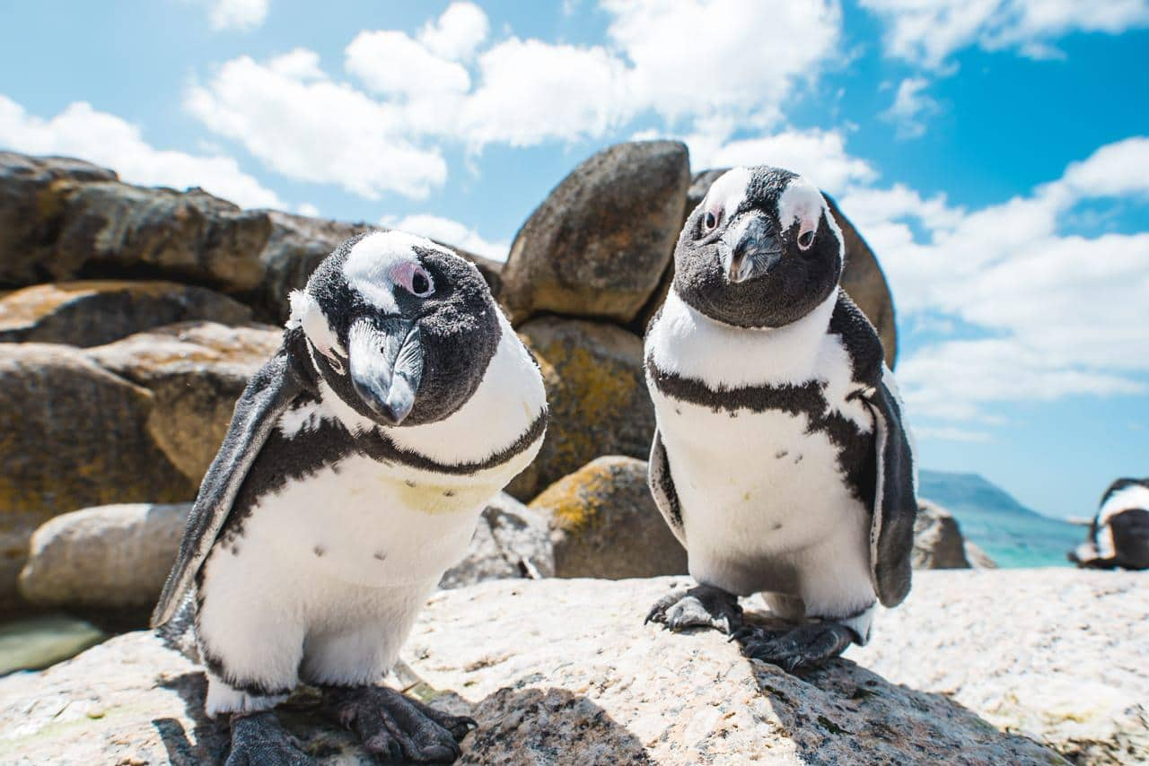 Two penguins looking into camera boulders