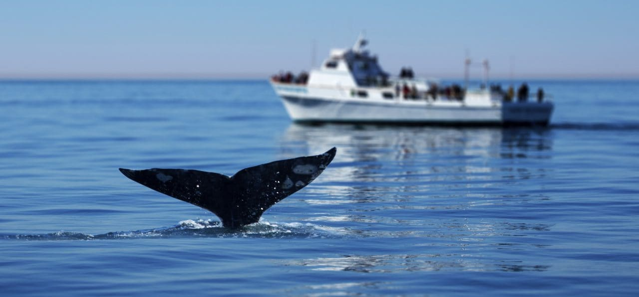 whale watching in cape town