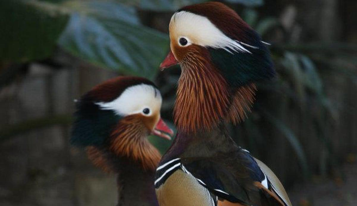 Mandarin Ducks World of Birds