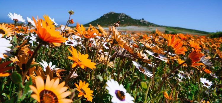 PICS: Cape flowers in bloom